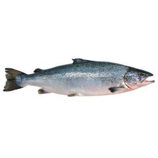 salmon-entero