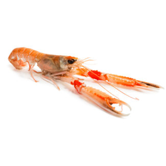 Raw langoustine isolated on white background. Selective focus on the eyes.