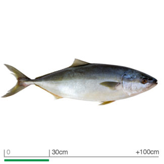 Bluefin tuna Thunnus thynnus saltwater fish isolated on white.