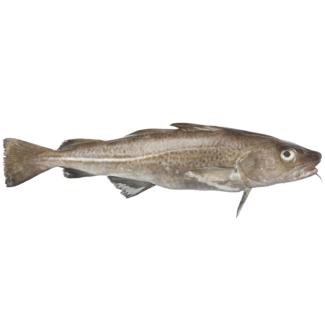 bacalae-entero